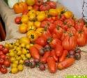 ...wie gemalt, die dargebotene Tomatenvielfalt aus biologischem Anbau