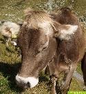 31 Kühe vom Blitz erschlagen