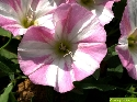 Blüte der Ackerwinde