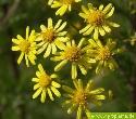 Blüten des Jakobs-Kreuzkrautes