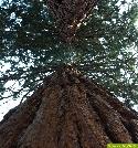 Deutschlands höchster Baum steht in Freiburg