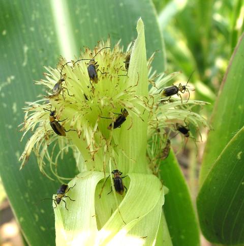 Fotos pflanzenschädlinge