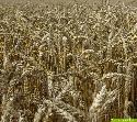 Die Weizenernte steht bevor