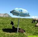 Dieses Lama scheint auf 2000 m Höhe den Schatten zu präferieren