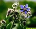 Leuchtend blaue Blüten besitzt das Gurkenkraut (Boretsch)