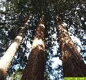 Mammutbäume drei Schwestern im Schönbuch