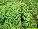Massenauftreten von Weißem Gänsefuß in Mais