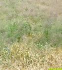 Massenauftreten von Windhalm in Gerste