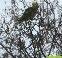 Mexikanische Gelbkopfamazonen trotzen der Kälte
