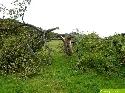 Morscher Apfelbaum
