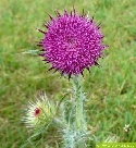 Nickende Distel (Carduus nutans L.)