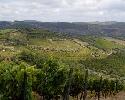 Olivenbäume säumen Weinanlagen in Portugal