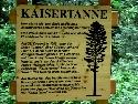 Relikt der Kaisertanne im Schwarzwald