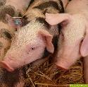 Schweinemastanlage neben Gästehaus der Bundesregierung geplant