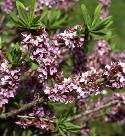 Seidelbast ist Pflanze des Monats März