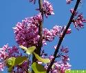 Selten im Pflanzenreich - die Stammblütigkeit (Cauliflorie); hier z.B. beim Judasbaum