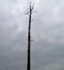 Vermutlich wird dieser Baum im Frühjahr 2008 nicht mehr austreiben.
