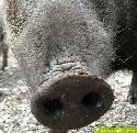Wildschweinrüssel