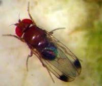 Bild 1: D. suzukii Männchen, ausgewachsen (Foto: ACW)