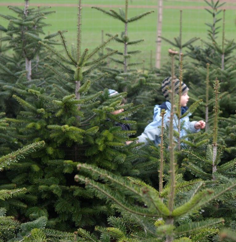 weihnachtsbaum selber schlagen dresden my blog