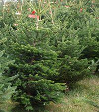 Weihnachtsbaum selber schlagen nahe dortmund