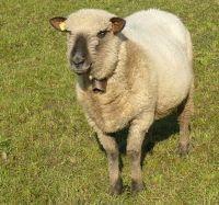 Schafe kaufen bayern