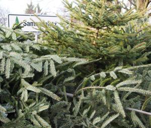Weihnachtsbaum Selber Schlagen Berlin Brandenburg.Weihnachtsbäume Selber Schlagen Thema Proplanta De