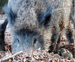 Schweinepest Danemark Baut Einen Zaun Proplanta De