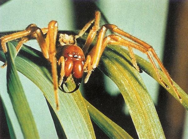 Giftigste Spinne In Deutschland