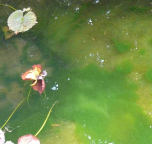 Algen im gartenteich bek mpfen for Fadenalgen im teich