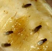 Was hilft gegen l stige fruchtfliegen - Was tun gegen fruchtfliegen im zimmer ...