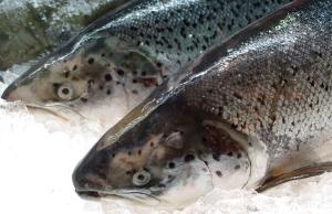 Fisch auf deutschen tellern kommt gr tenteils aus dem for Heimische fische