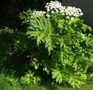 heimische pflanzen durch herkulesstaude und andere exoten bedroht. Black Bedroom Furniture Sets. Home Design Ideas