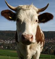 landwirt in osterberg von horn einer kuh schwer am auge. Black Bedroom Furniture Sets. Home Design Ideas