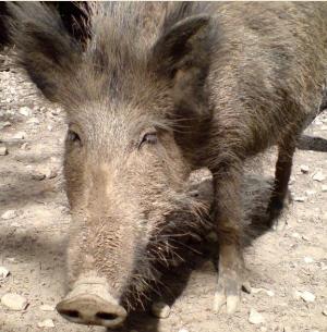 das hilft gegen wildschweine im garten