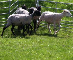 Schafe für Deichpflege