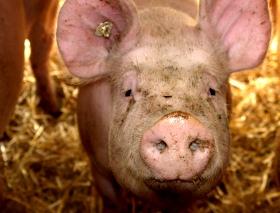 Afrikanische Schweinepest Mecklenburg Vorpommern Wappnet Sich Mit