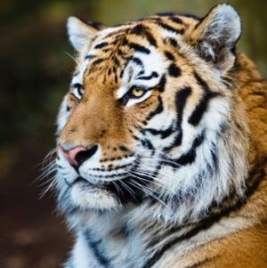 Tigerkrallen