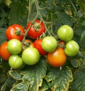 tomaten pflanzen tipps zu pflege bew sserung und d ngung. Black Bedroom Furniture Sets. Home Design Ideas