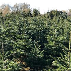 Weihnachtsbäume Selber Schlagen Delies Maps Proplantade