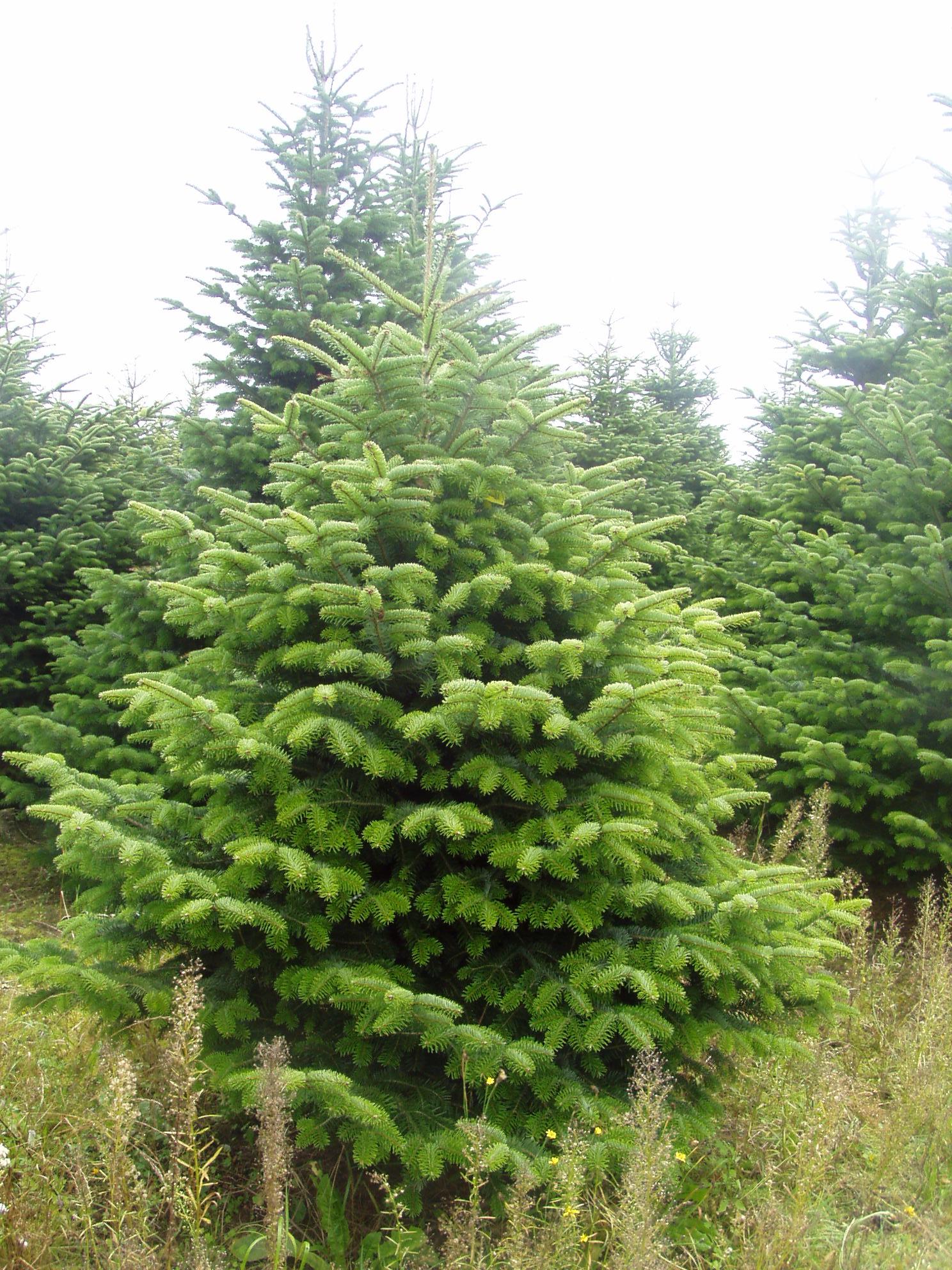 Weihnachtsbäume Selber Schlagen Vom Hof Tannenland Maps Proplantade