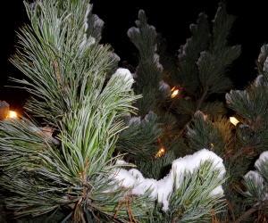 drinnen und drau en weihnachtsb ume im topf sind trend. Black Bedroom Furniture Sets. Home Design Ideas