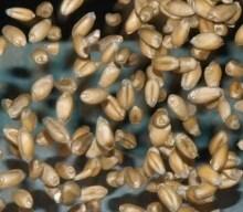 Erhalten Sie Weizenpreise in Echtzeit, Echtzeit Weizen-News, eine mobile App und einen vollständigen Handelsbildschirm für nur € 49 / Monat.